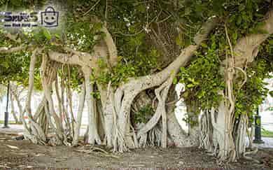 درخت سبز کیش